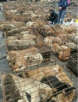 Dogs awaiting slaughter