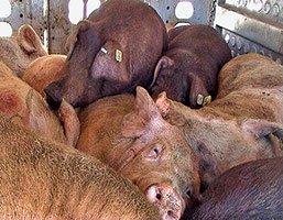 Pigs awaiting slaughter