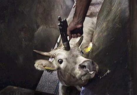 cow-being-shot1