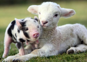 s-piglet-and-lamb
