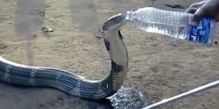 Cobra-Drinking-Water-5